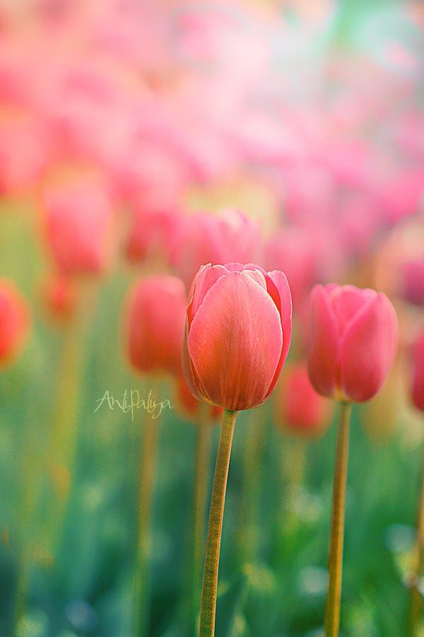 pink tulips by Anti-Pati-ya