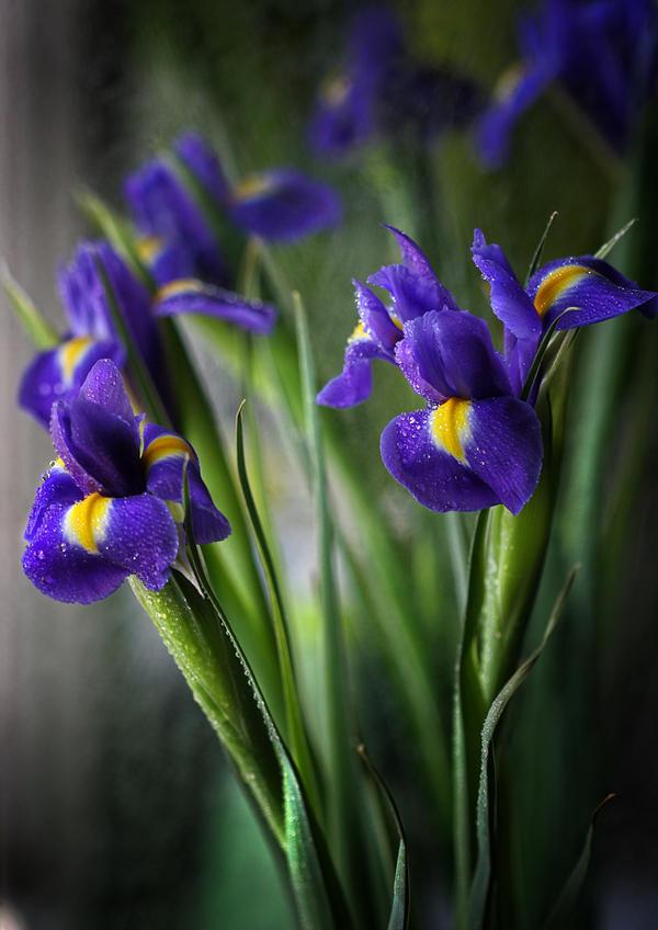 blue iris by anti pati ya on deviantart. Black Bedroom Furniture Sets. Home Design Ideas