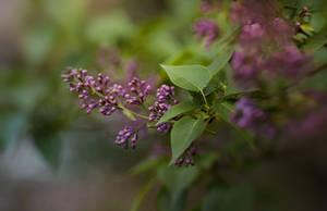 fresh lilacs 02 by Anti-Pati-ya