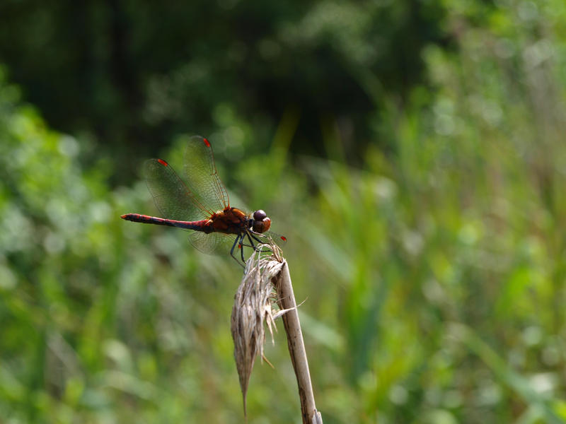 red dragonfly by morgy23