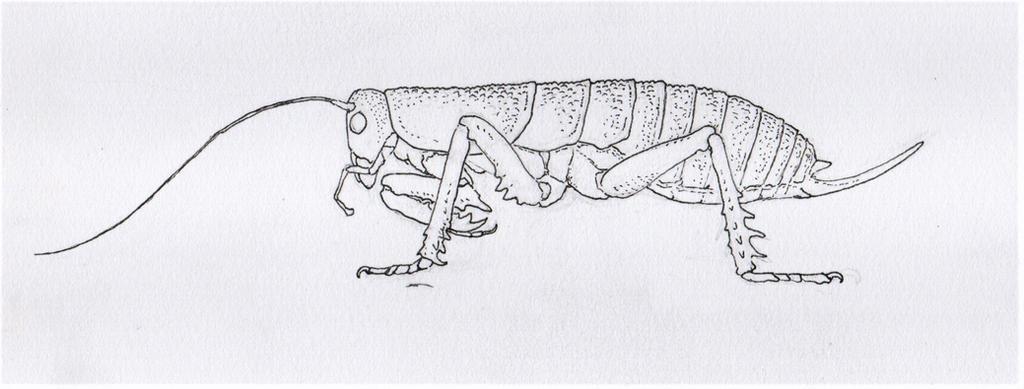Predatory Weta by Animalistic-Artworks