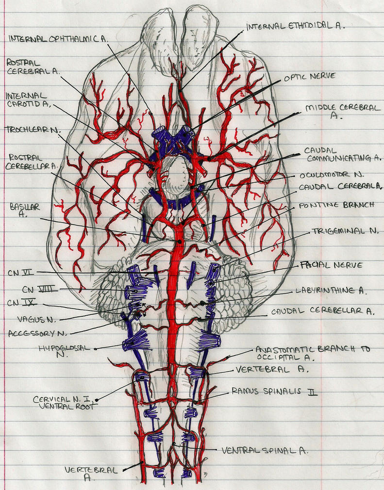 Ventral vasculature of brain by Dangerous-Nargle on DeviantArt