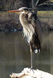 Standing Heron by crotafang