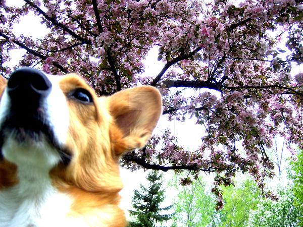 Springtime Corgi by Gwend-O-Ithilien