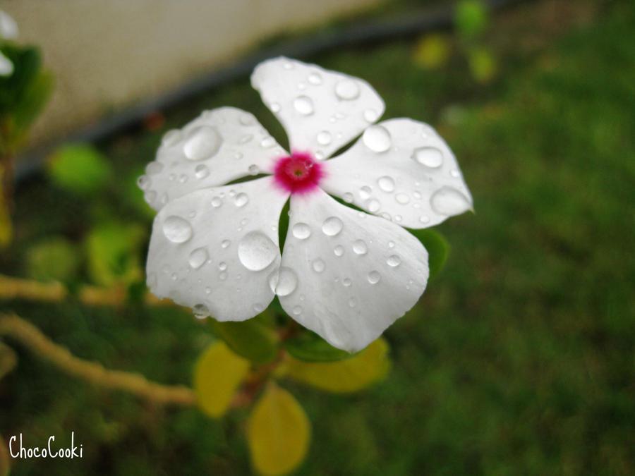 Dew Drops by ChocoCooki