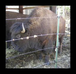 Buffallo by griffinox