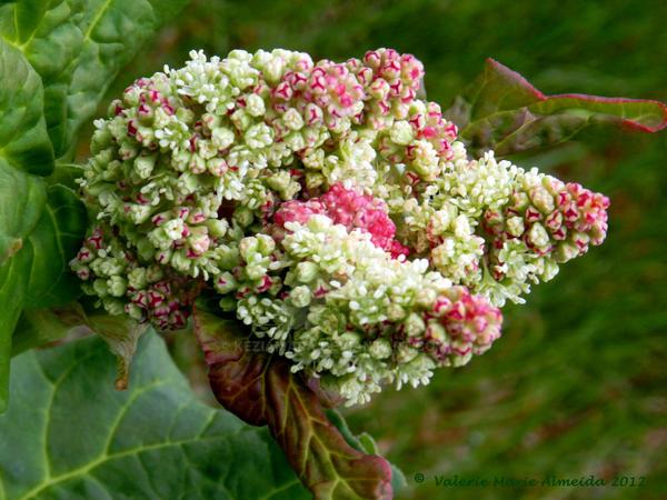Rhubarb Blossom by Keziamara