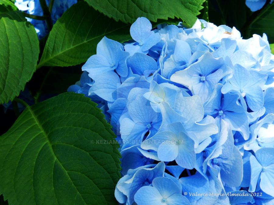 Blue Hydrangea by Keziamara