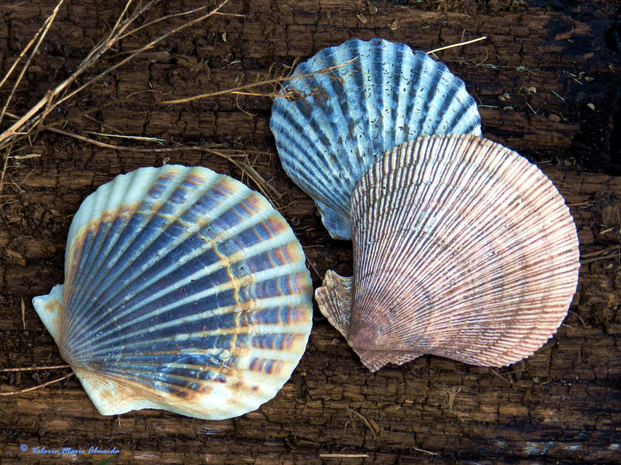 Scallop Shells by Keziamara