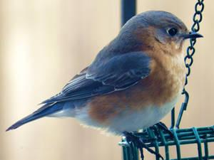 Bluebird,Bluebird at my window
