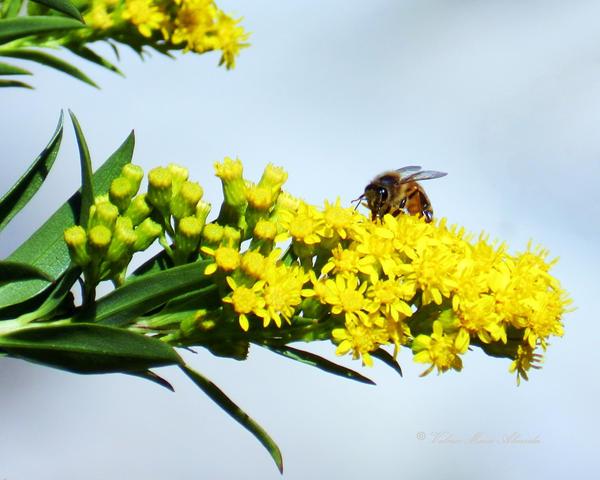 Bee on Wildflower by Keziamara
