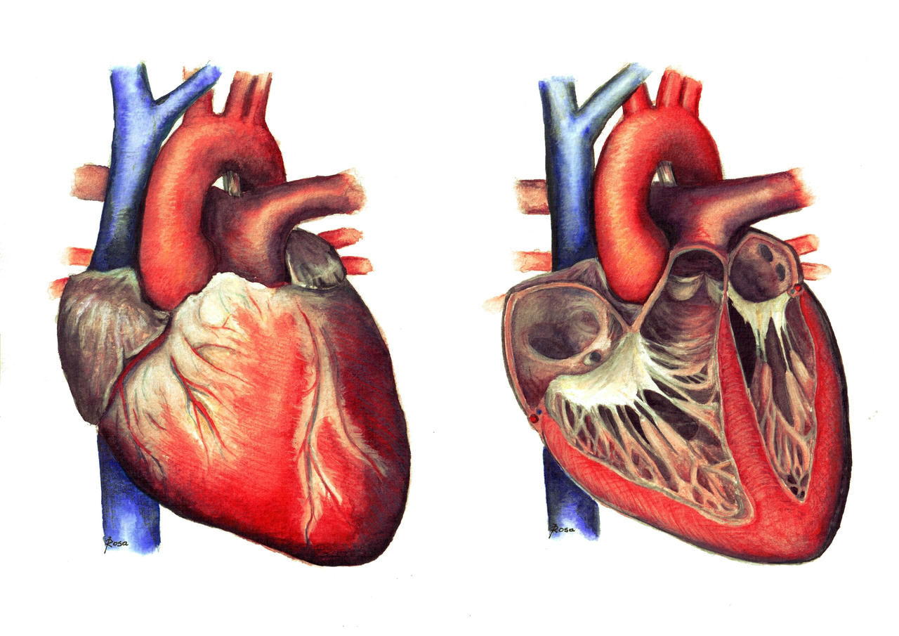 Anatomy of the Heart by JoaRosa on DeviantArt