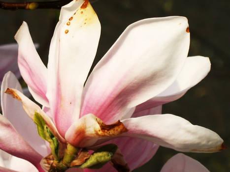 Magnolia3 Stock MagpieMagic