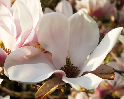 Magnolia4 Stock MagpieMagic