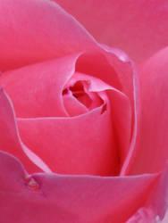 Tea Rose Pink Stock