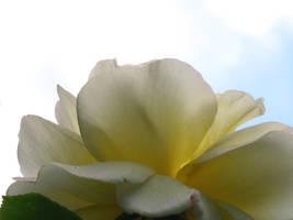 Tea Rose Yellow Stock