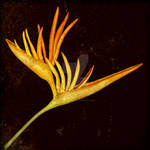 Botanica - Parakeet Flower