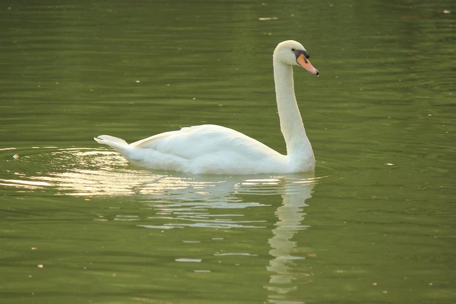 swan by guru1993