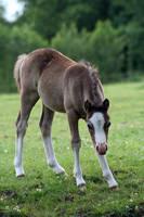 Foal06 by vivstock
