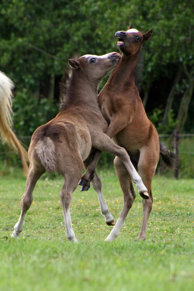 Foals playing by vivstock
