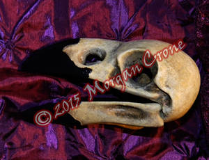 Larger than Life Size Crow Skull
