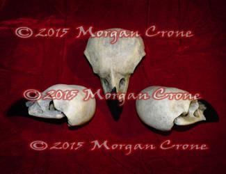 3 Corvid Skulls