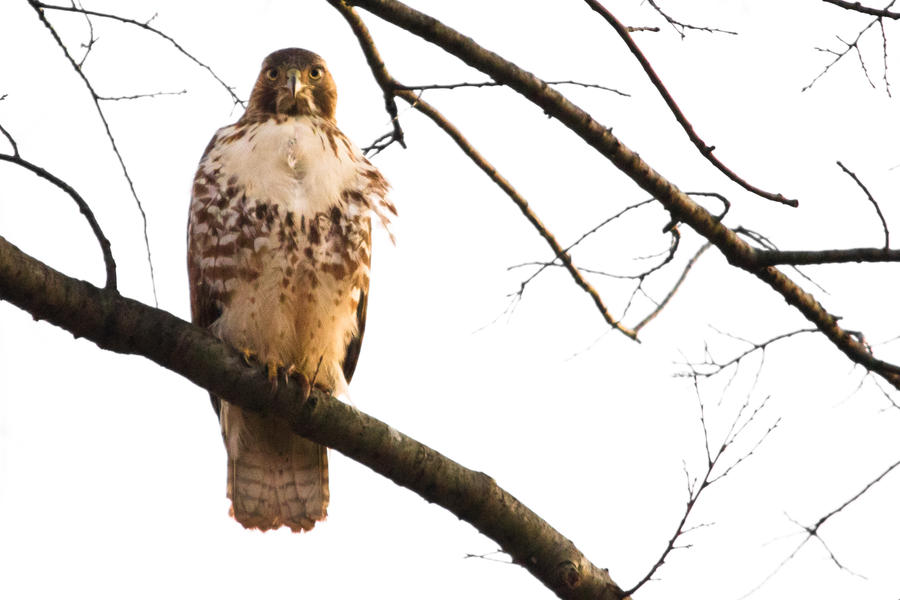IMAGE: http://fc08.deviantart.net/fs70/i/2011/359/3/1/red_tailed_hawk_3_by_bovey_photo-d4k8do5.jpg
