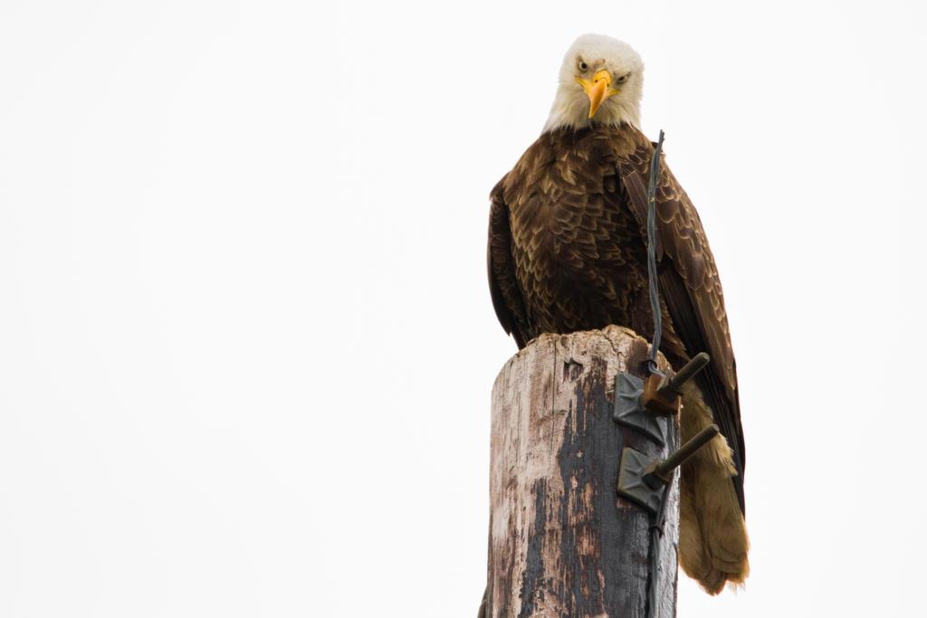 IMAGE: http://fc05.deviantart.net/fs70/i/2012/051/e/2/eagle_is_not_amused_by_bovey_photo-d4qe1yj.jpg