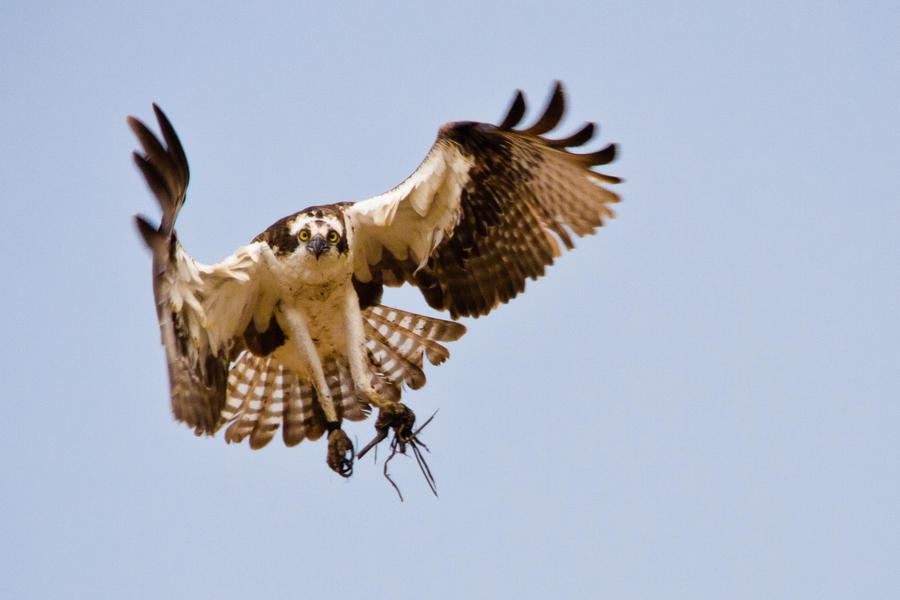 IMAGE: http://fc00.deviantart.net/fs71/i/2012/077/e/4/opsrey_in_flight_by_bovey_photo-d4t63v6.jpg