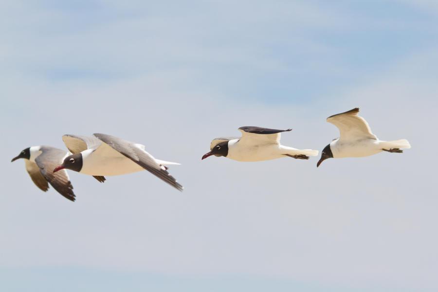 IMAGE: http://fc06.deviantart.net/fs70/i/2012/141/3/3/black_headed_gulls_by_bovey_photo-d50lc6k.jpg