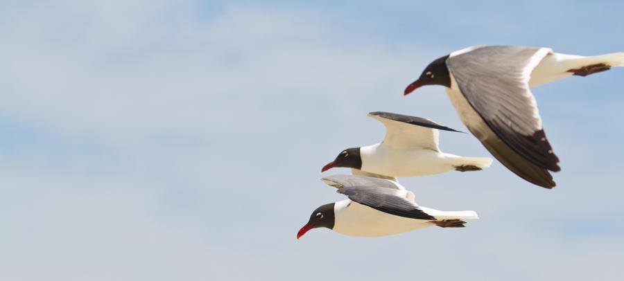 IMAGE: http://fc06.deviantart.net/fs70/i/2012/141/f/d/black_headed_gulls_5_by_bovey_photo-d50lcw2.jpg