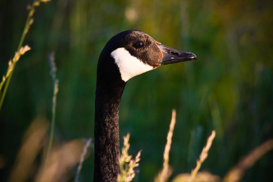 IMAGE: http://fc08.deviantart.net/fs70/i/2012/141/1/5/canadian_goose_by_bovey_photo-d50le4z.jpg