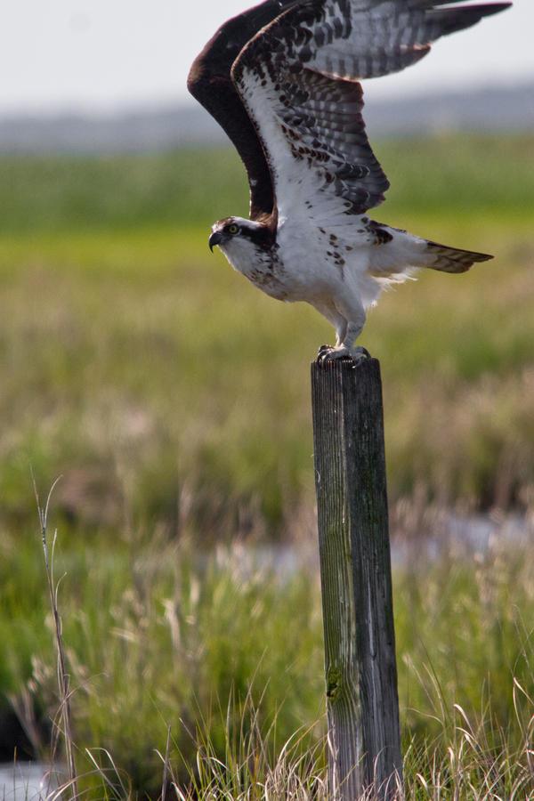 IMAGE: http://fc02.deviantart.net/fs71/i/2012/141/e/b/osprey_ready_for_take_off_by_bovey_photo-d50leix.jpg