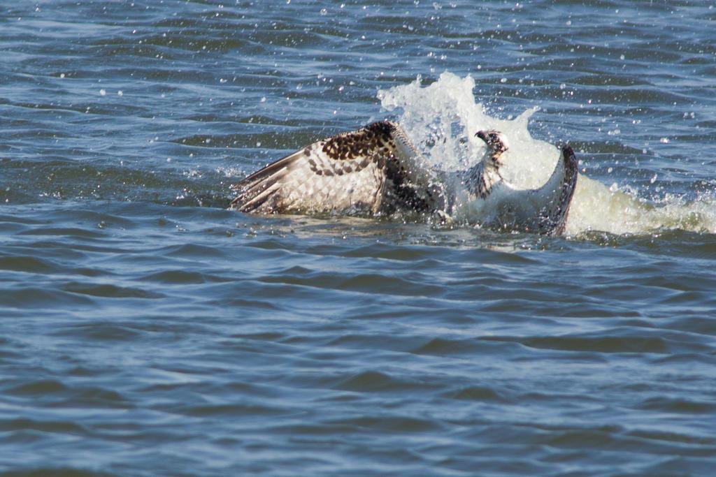 IMAGE: http://fc07.deviantart.net/fs70/i/2012/281/b/a/diving_osprey_4_by_bovey_photo-d5h7mu0.jpg