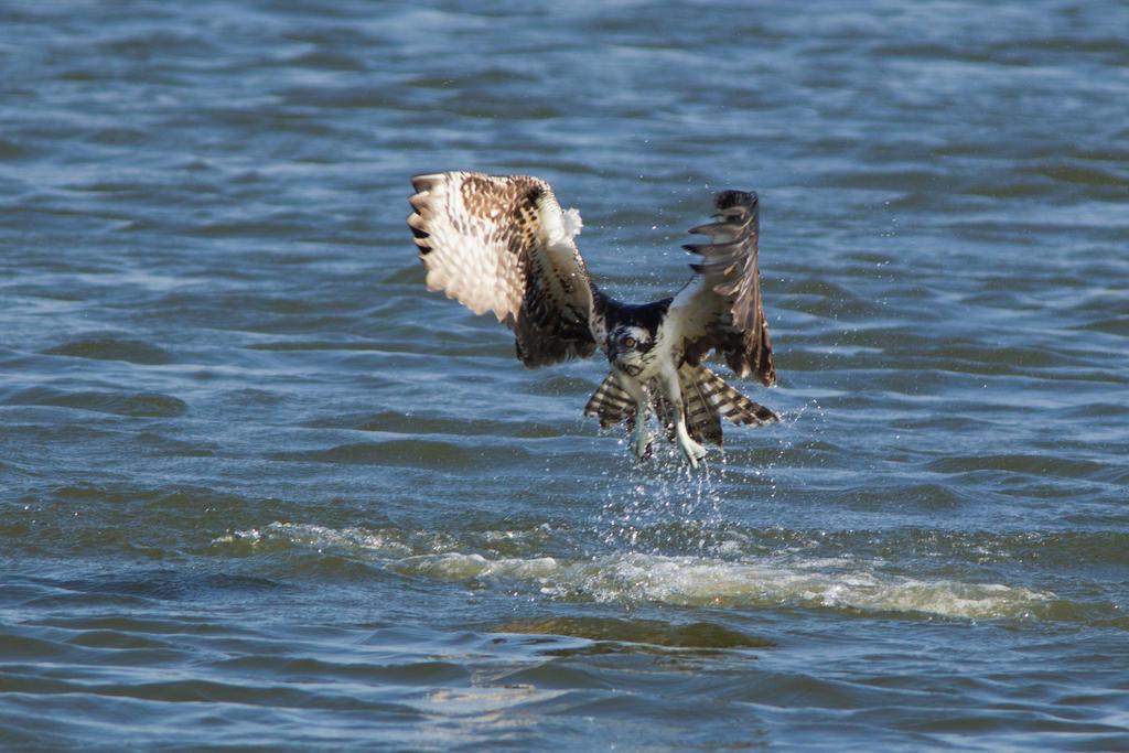 IMAGE: http://fc07.deviantart.net/fs70/i/2012/281/8/9/diving_osprey_5_by_bovey_photo-d5h7n35.jpg