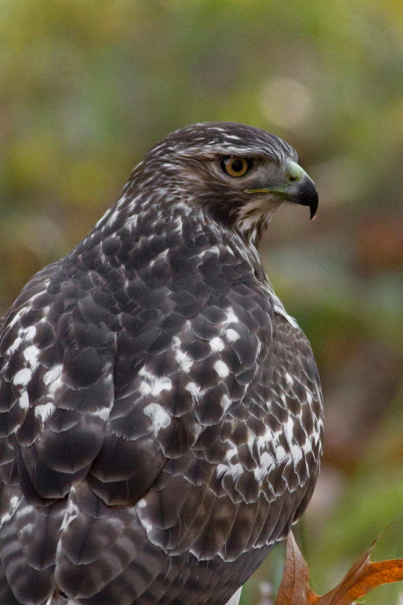 IMAGE: http://fc09.deviantart.net/fs70/i/2012/328/d/2/red_tail_hawk_6_by_bovey_photo-d5m2jzs.jpg