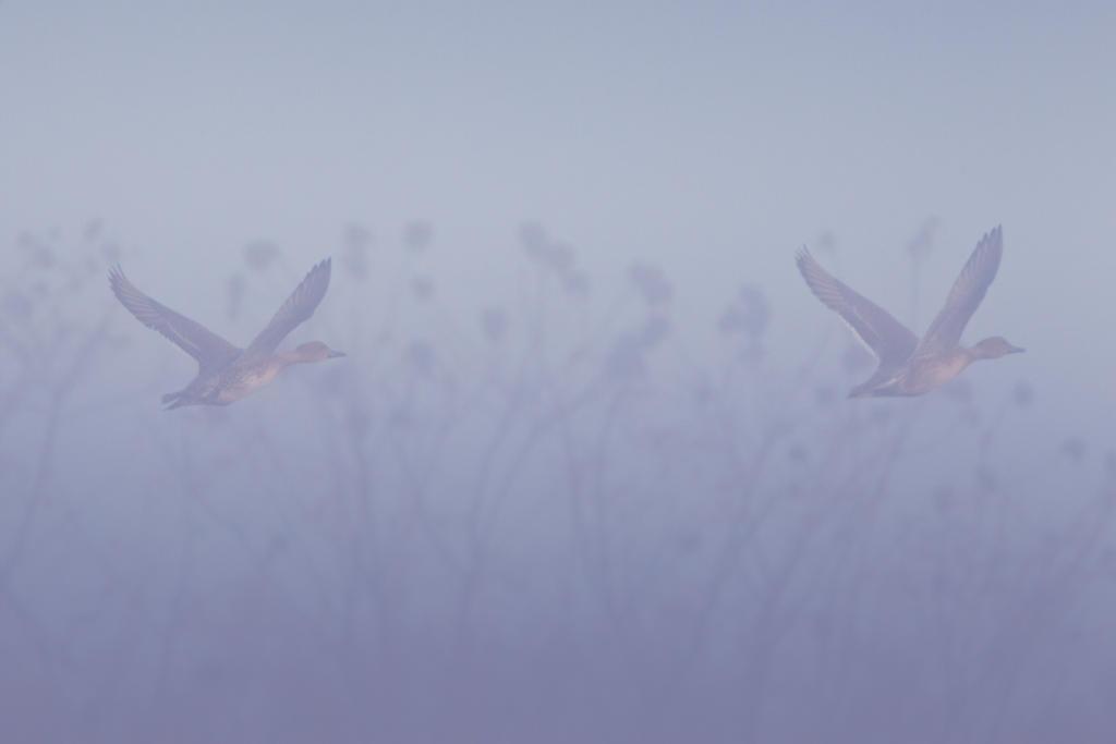 IMAGE: http://fc07.deviantart.net/fs71/i/2012/329/c/f/ducks_in_the_fog_1_by_bovey_photo-d5m3xo3.jpg