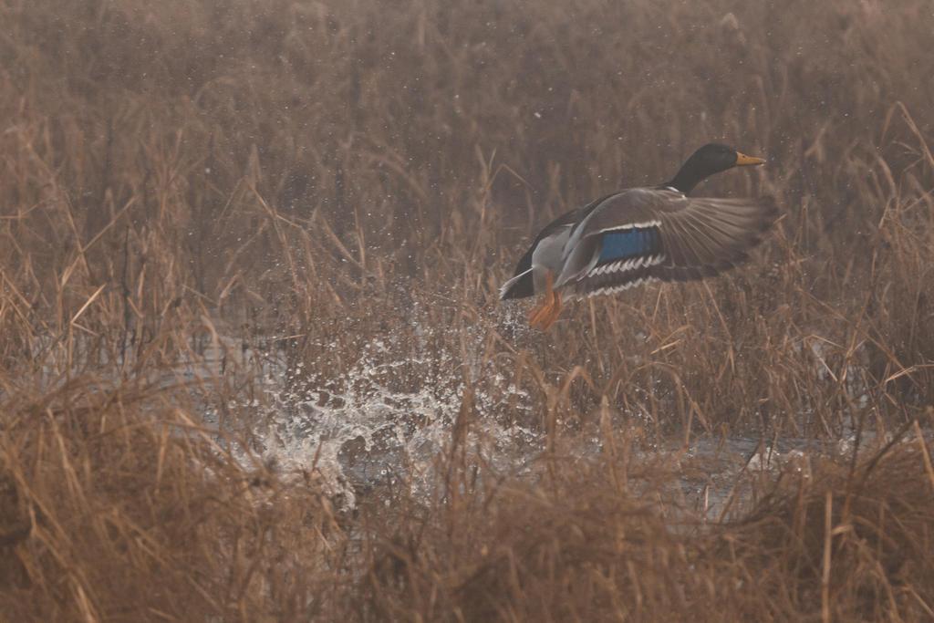 IMAGE: http://fc07.deviantart.net/fs71/i/2012/329/f/c/ducks_in_the_fog_7_by_bovey_photo-d5m3yj9.jpg
