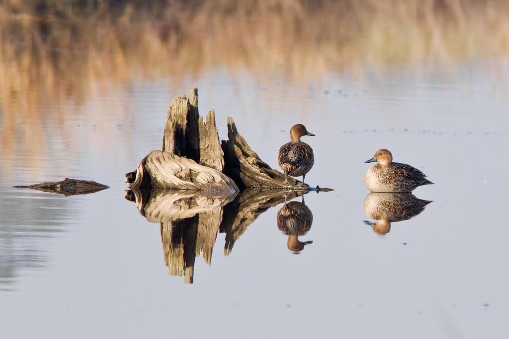 IMAGE: http://fc03.deviantart.net/fs71/i/2012/337/0/c/ducks_by_bovey_photo-d5my7lj.jpg