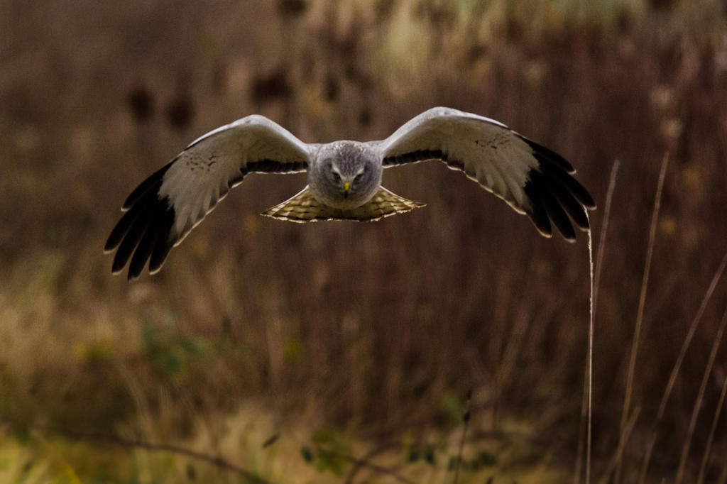 Northern Harrier 10 by bovey-photo