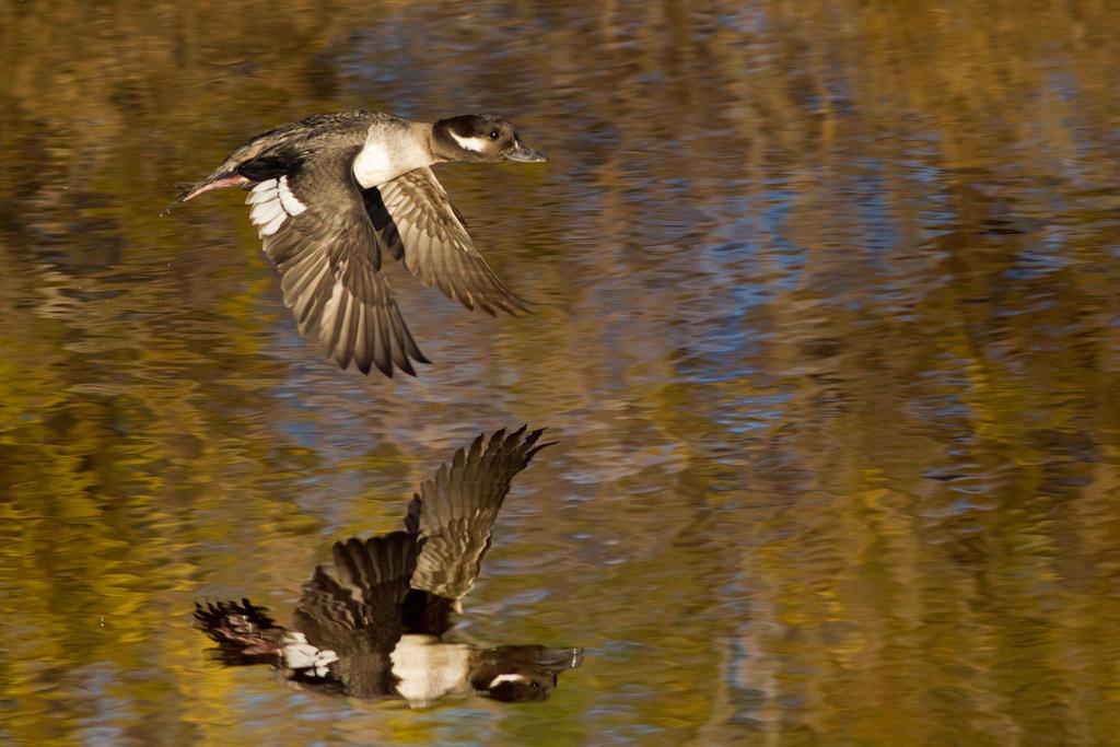 IMAGE: http://fc09.deviantart.net/fs71/i/2013/021/8/b/bufflehead_duck_in_flight_1_by_bovey_photo-d5sanrw.jpg