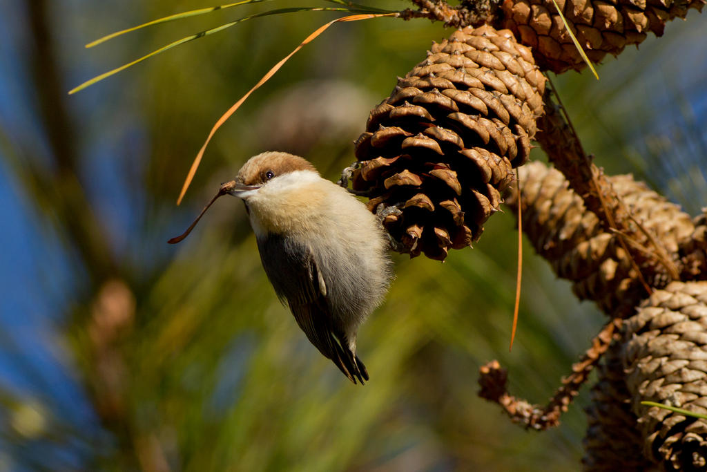 IMAGE: http://fc05.deviantart.net/fs70/i/2013/021/6/7/brown_headed_nuthatch_4_by_bovey_photo-d5sauy8.jpg