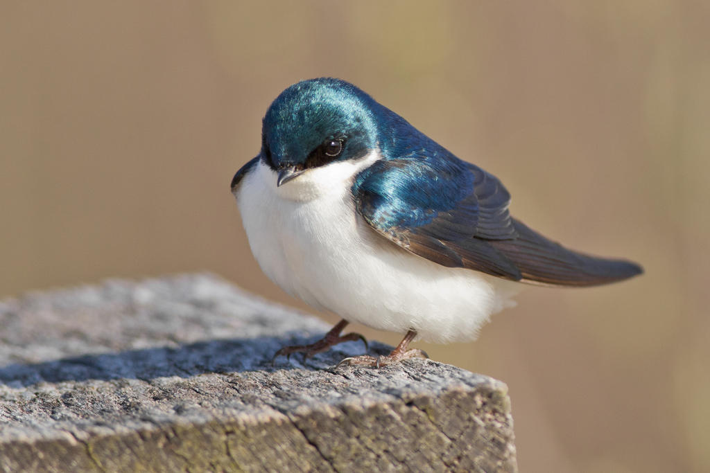 IMAGE: http://fc04.deviantart.net/fs70/i/2013/111/3/5/tree_swallow_by_bovey_photo-d62ilu5.jpg