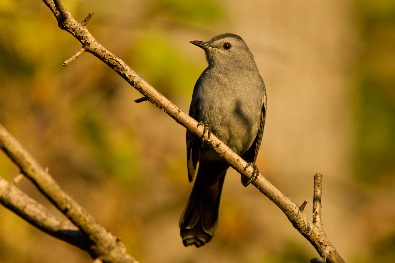 IMAGE: http://fc02.deviantart.net/fs70/i/2013/285/2/d/catbird_golden_hour_by_bovey_photo-d6q8ym4.jpg