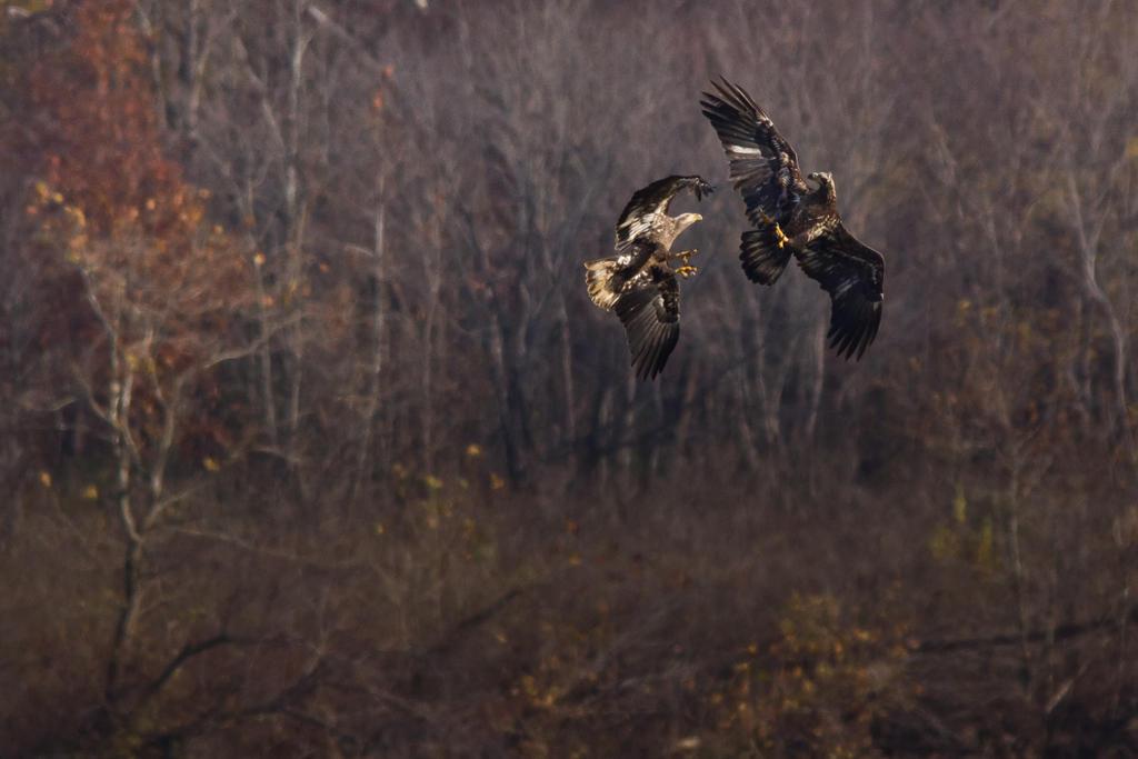 IMAGE: http://fc03.deviantart.net/fs70/i/2013/316/2/a/eagle_fight_by_bovey_photo-d6u286e.jpg