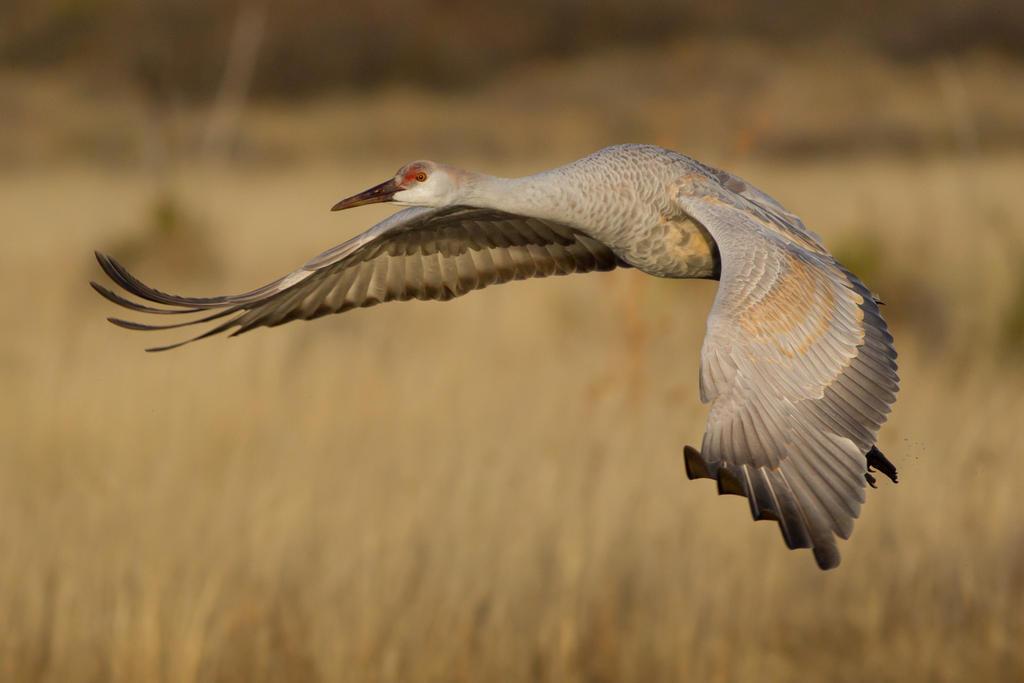 IMAGE: http://fc03.deviantart.net/fs71/i/2013/346/9/e/sandhill_crane_in_flight_by_bovey_photo-d6xp4rq.jpg