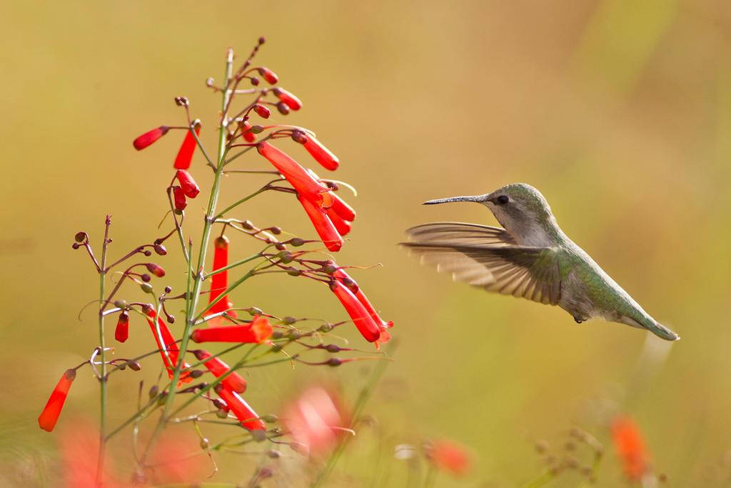 IMAGE: http://fc03.deviantart.net/fs71/i/2013/346/8/b/feeding_hummingbird_1_by_bovey_photo-d6xq8s9.jpg
