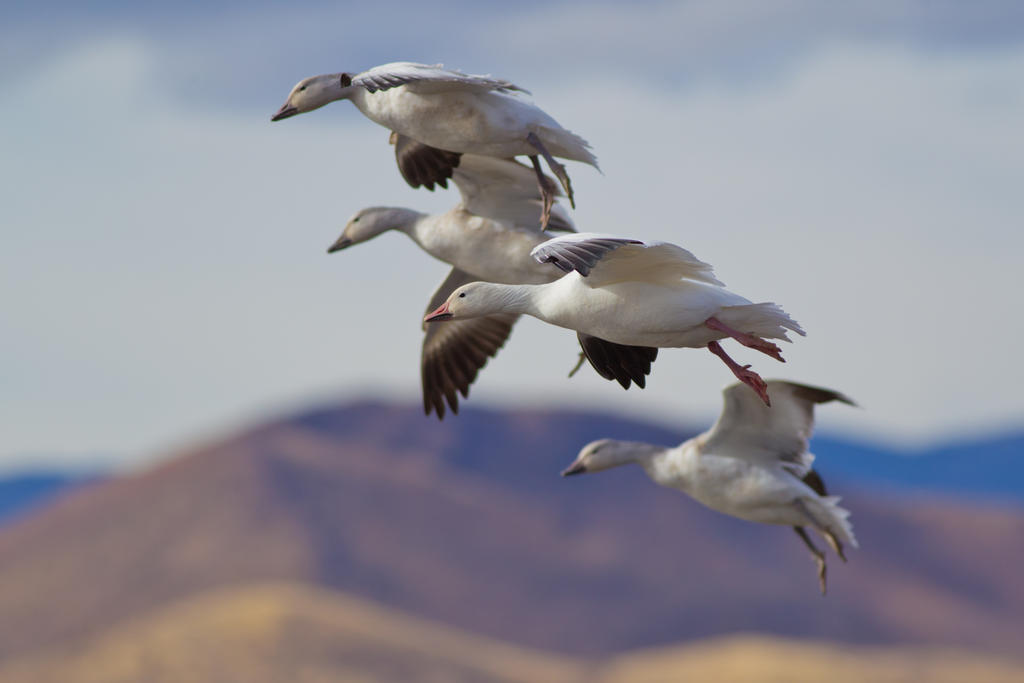 IMAGE: http://fc06.deviantart.net/fs70/i/2014/018/5/4/snow_geese_coming_in_for_landing_by_bovey_photo-d72qcmz.jpg