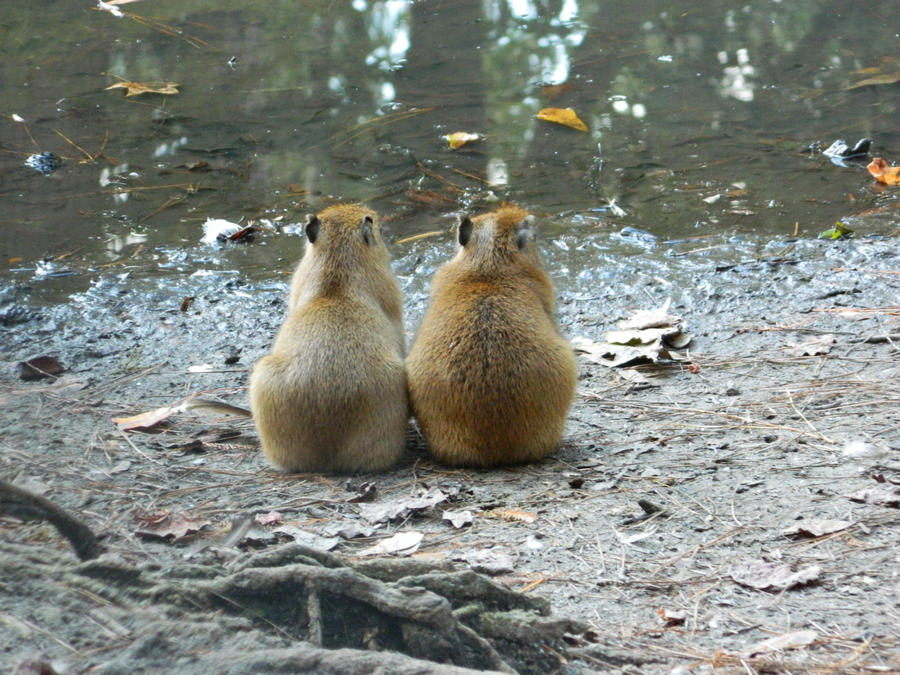 Two Baby Capybara by  Capybara Baby Cute