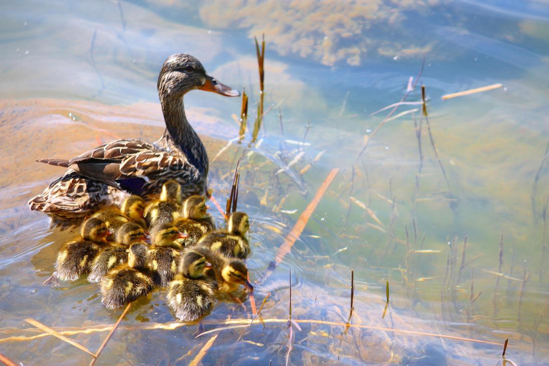 Spring Ducklings by hemasu